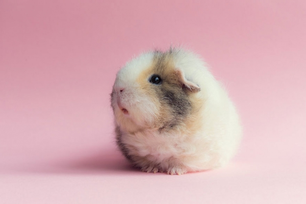 booboo  the gang 13 pic of the most adorable guinea pig models 9