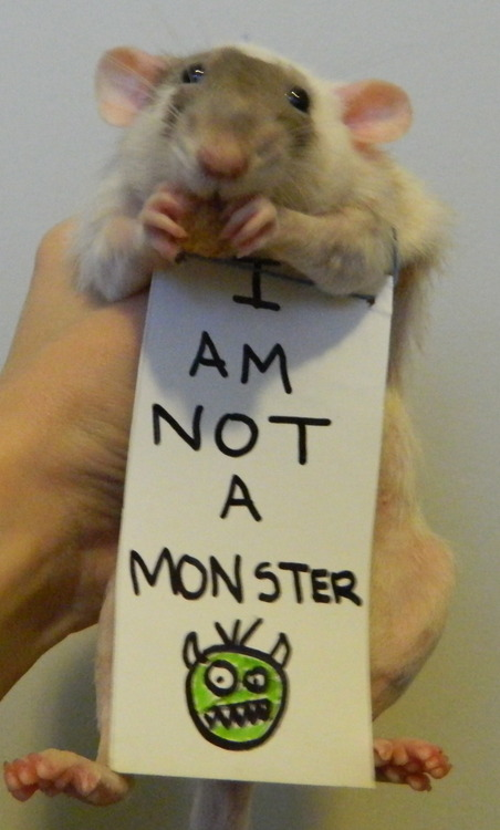 breaking the stereotypes 10 adorably cute rats 3