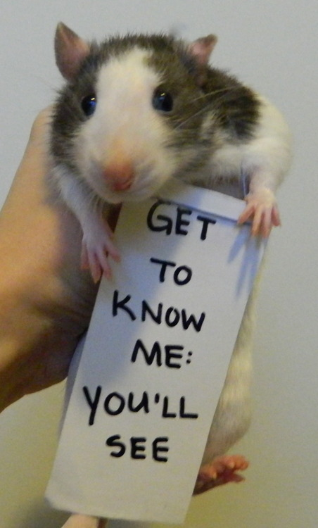 breaking the stereotypes 10 adorably cute rats 4