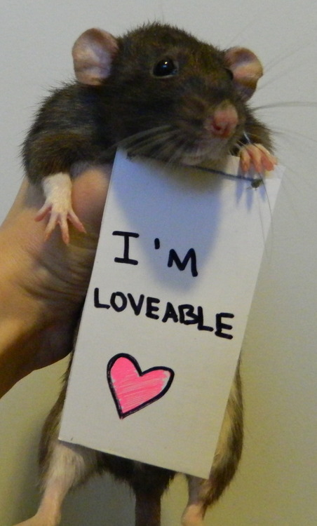 breaking the stereotypes 10 adorably cute rats 5