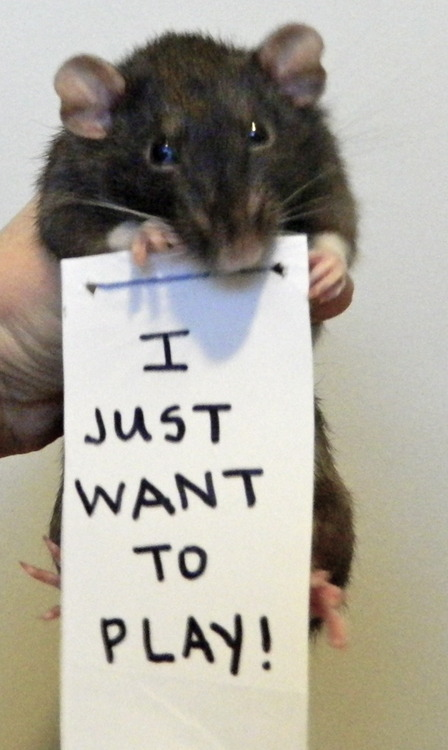 breaking the stereotypes 10 adorably cute rats 6