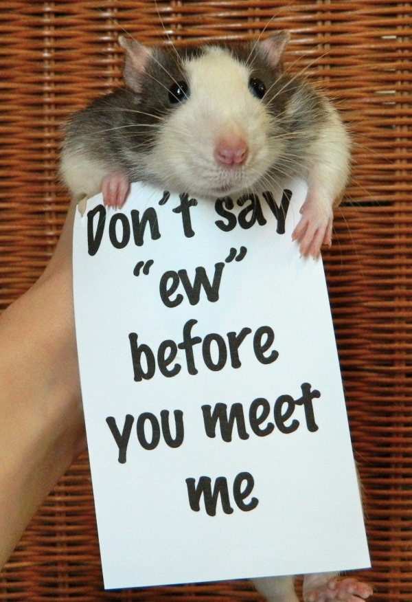 breaking the stereotypes 10 adorably cute rats 8