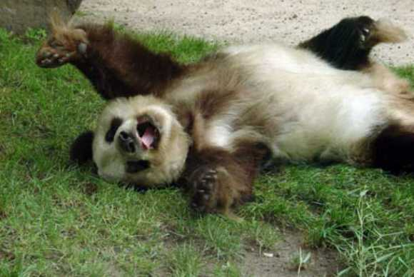 can anything be cuter than a brown panda bear 10 pictures 1