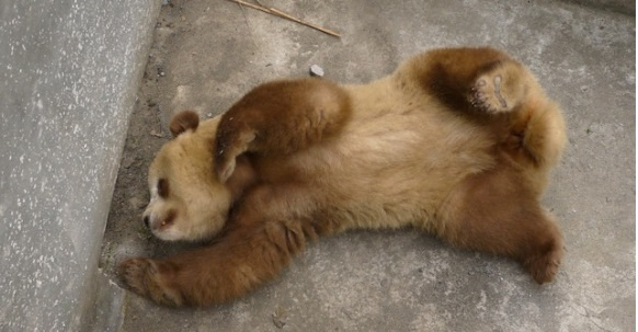 can anything be cuter than a brown panda bear 10 pictures 2