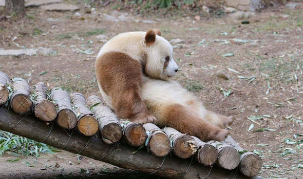 can anything be cuter than a brown panda bear 10 pictures 3