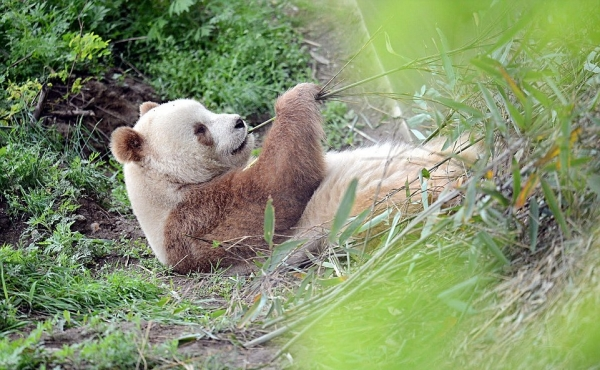can anything be cuter than a brown panda bear 10 pictures 4