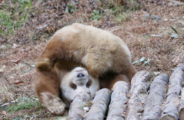 can anything be cuter than a brown panda bear 10 pictures 8