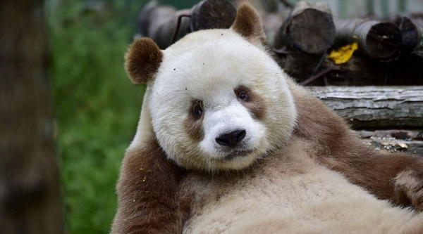 can anything be cuter than a brown panda bear 10 pictures 9