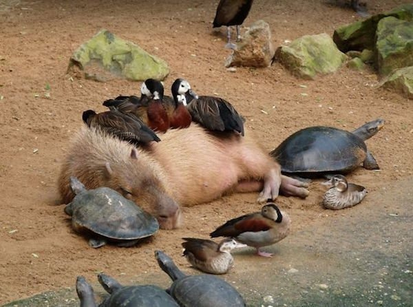 capybara definitely the biggest and possibly the cutest rodent  12 pictures 11