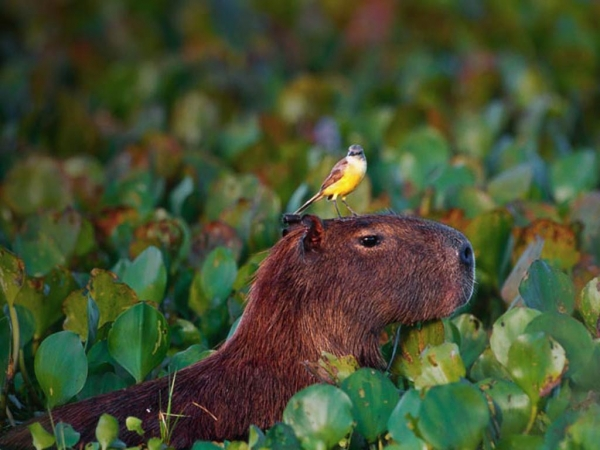 capybara definitely the biggest and possibly the cutest rodent  12 pictures 12