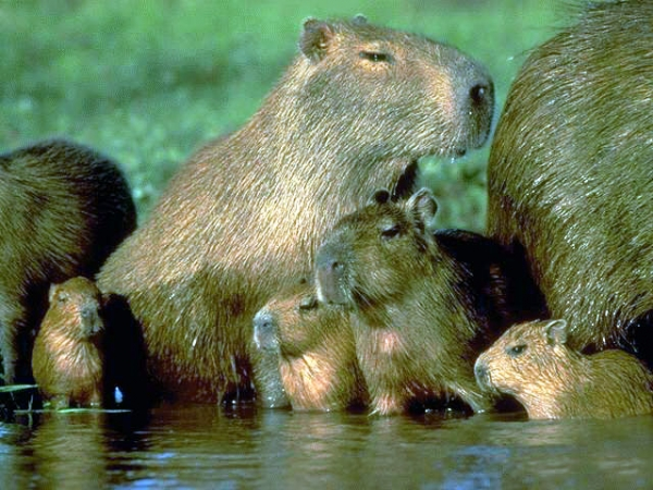 capybara definitely the biggest and possibly the cutest rodent  12 pictures 2