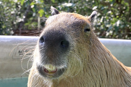 capybara definitely the biggest and possibly the cutest rodent  12 pictures 3