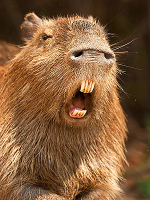 capybara definitely the biggest and possibly the cutest rodent  12 pictures 6