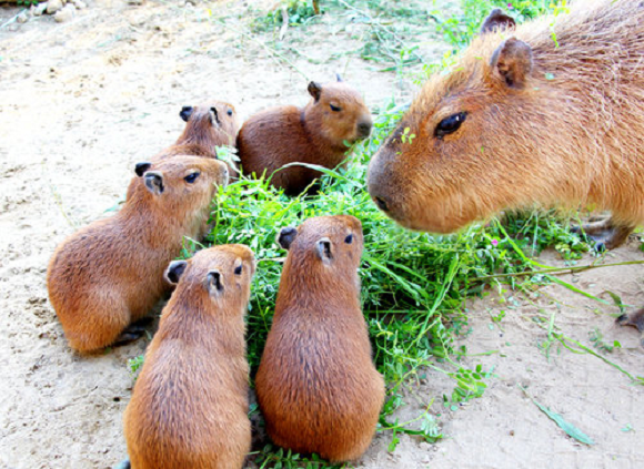 capybara definitely the biggest and possibly the cutest rodent  12 pictures 9