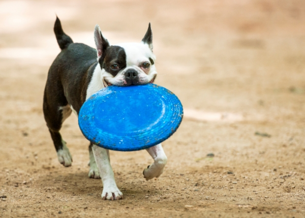 common misconceptions and myths about small dog breeds 10 pictures 10