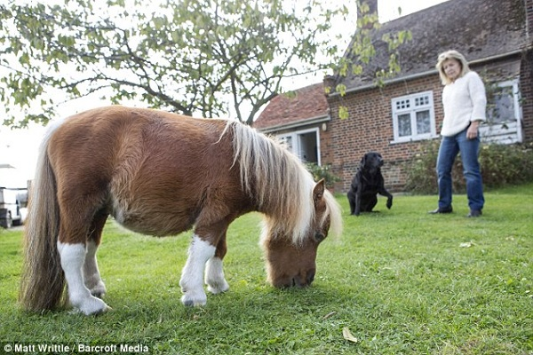 cutest and tiniest horse is a part of the family 10 pics 1 video 4