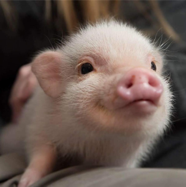 cutest oink a pig activist and a therapist 10 pictures 1