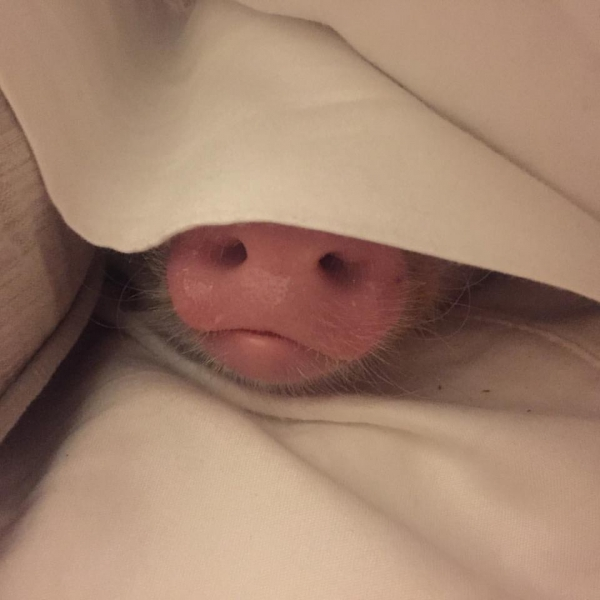 cutest oink a pig activist and a therapist 10 pictures 10