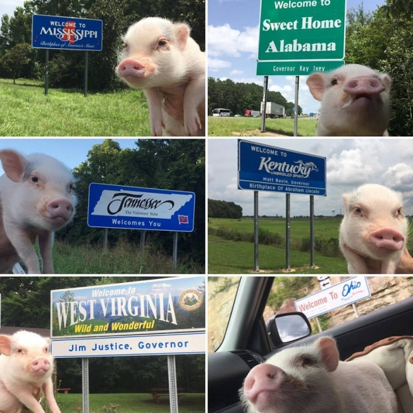 cutest oink a pig activist and a therapist 10 pictures 4