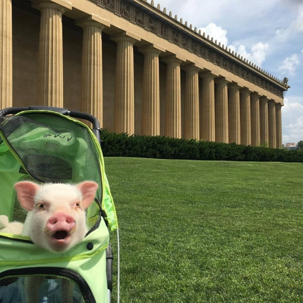 cutest oink a pig activist and a therapist 10 pictures 5