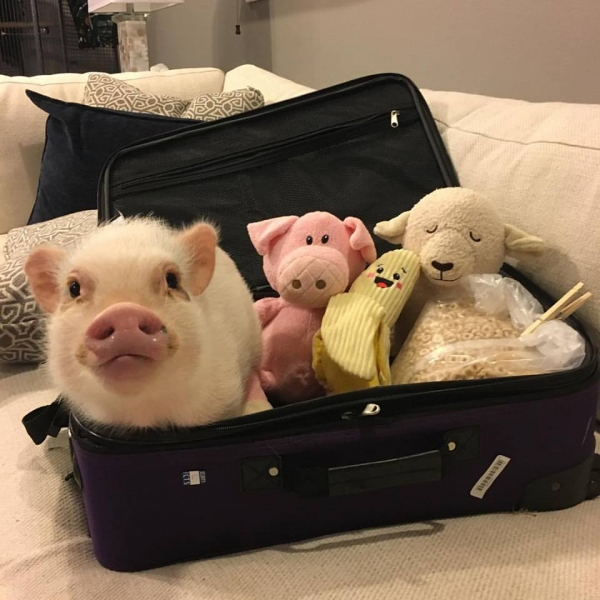 cutest oink a pig activist and a therapist 10 pictures 6