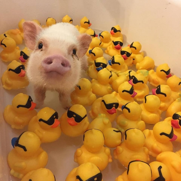 cutest oink a pig activist and a therapist 10 pictures 7
