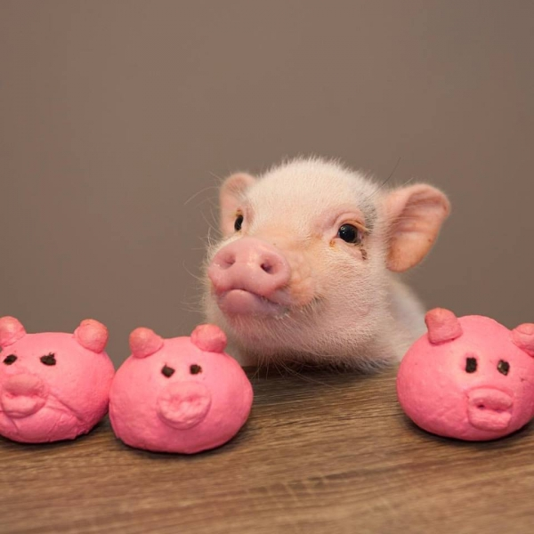 cutest oink a pig activist and a therapist 10 pictures 9
