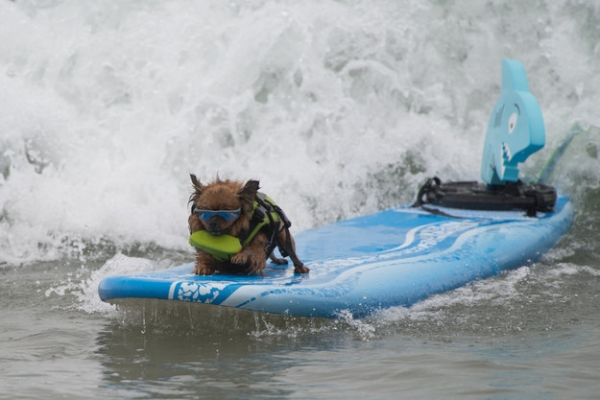 dog surfing is something you shouldnt miss 15 pics 10