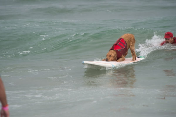 dog surfing is something you shouldnt miss 15 pics 14