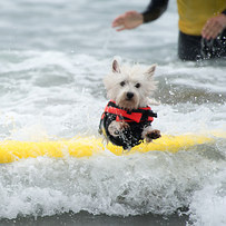 dog surfing is something you shouldnt miss 15 pics 15