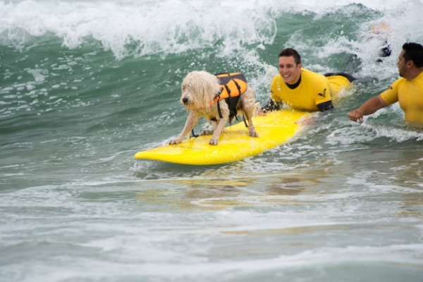 dog surfing is something you shouldnt miss 15 pics 2