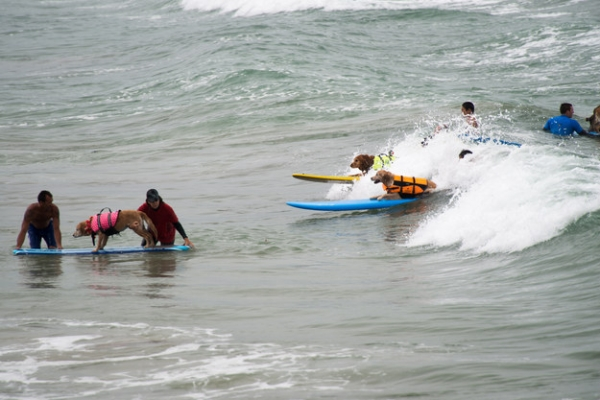 dog surfing is something you shouldnt miss 15 pics 4