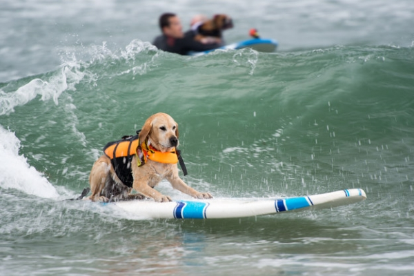 dog surfing is something you shouldnt miss 15 pics 5