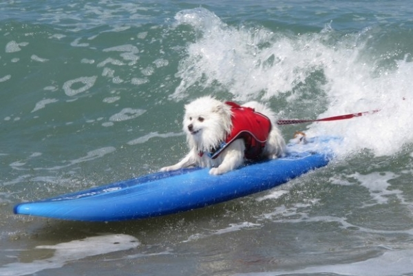 dog surfing is something you shouldnt miss 15 pics 6