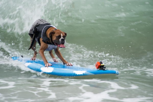 dog surfing is something you shouldnt miss 15 pics 8