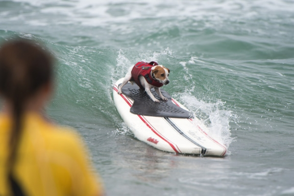dog surfing is something you shouldnt miss 15 pics 9