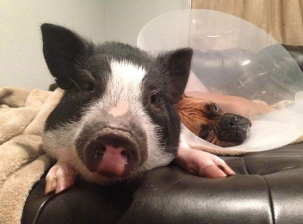 ever heard of a pig with identity crysis untill now neither have i 6 pics 1 video 3