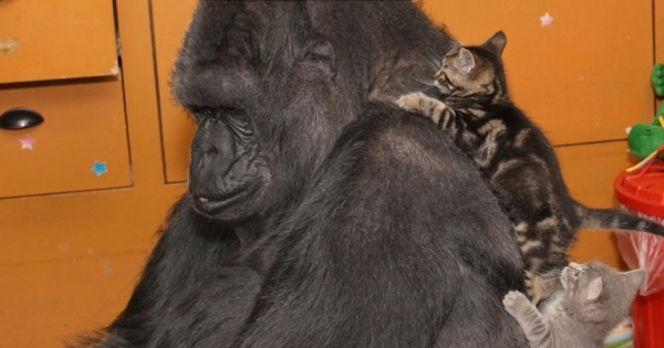 famous gorilla got some new friends 12 pictures 13