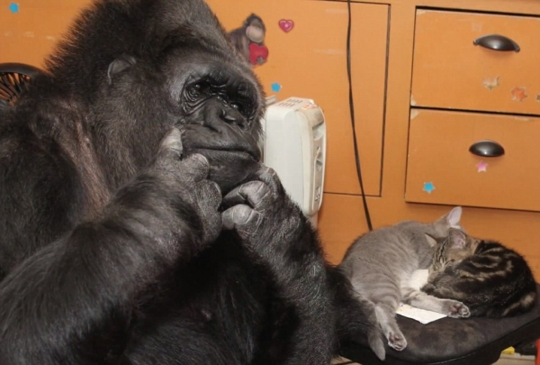 famous gorilla got some new friends 12 pictures 14
