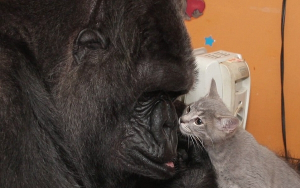 famous gorilla got some new friends 12 pictures 3
