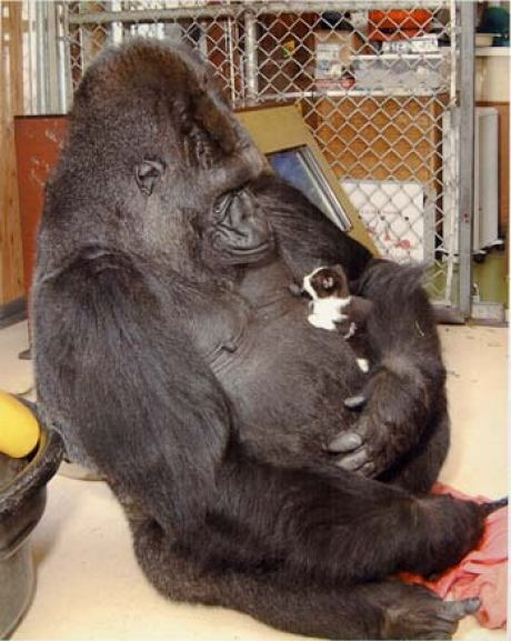 famous gorilla got some new friends 12 pictures 4