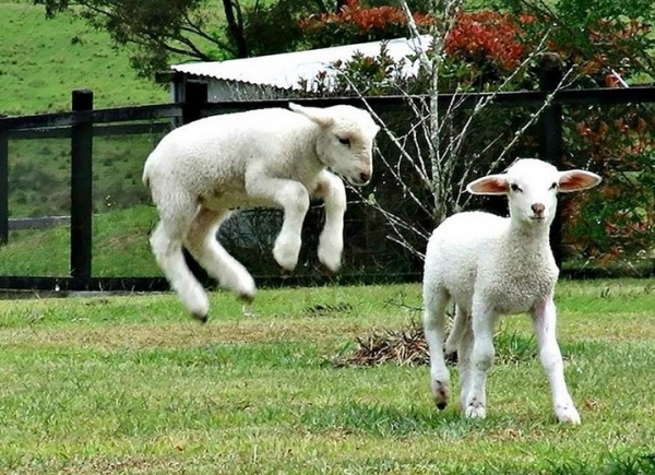 fate has brought together two lambs who have lost their moms  12 pictures 11