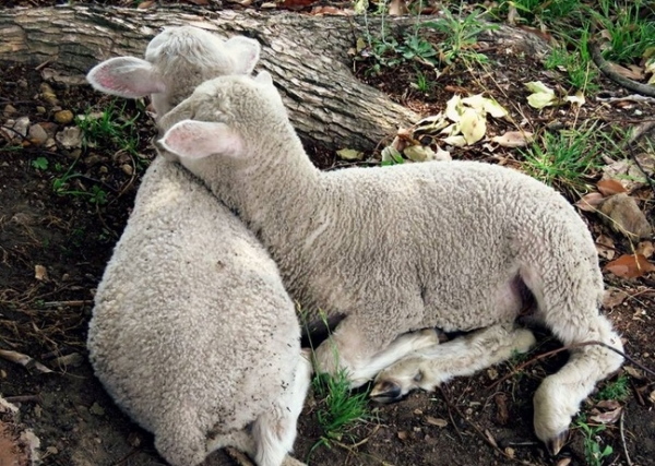 fate has brought together two lambs who have lost their moms  12 pictures 12