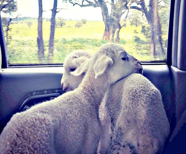 fate has brought together two lambs who have lost their moms  12 pictures 3