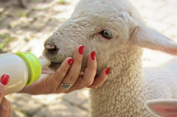 fate has brought together two lambs who have lost their moms  12 pictures 4