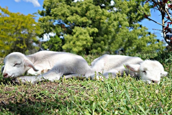 fate has brought together two lambs who have lost their moms  12 pictures 6