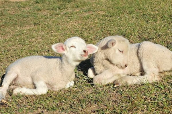 fate has brought together two lambs who have lost their moms  12 pictures 7