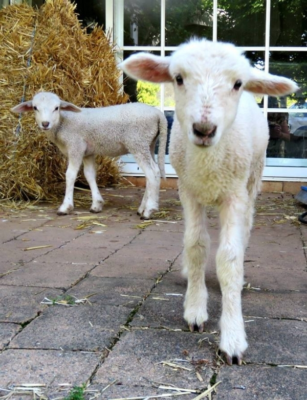fate has brought together two lambs who have lost their moms  12 pictures 8
