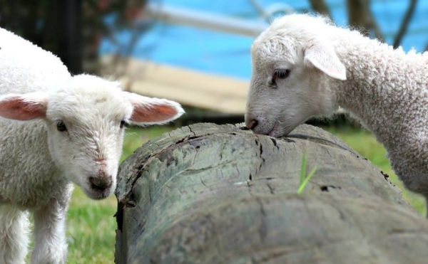 fate has brought together two lambs who have lost their moms  12 pictures 9