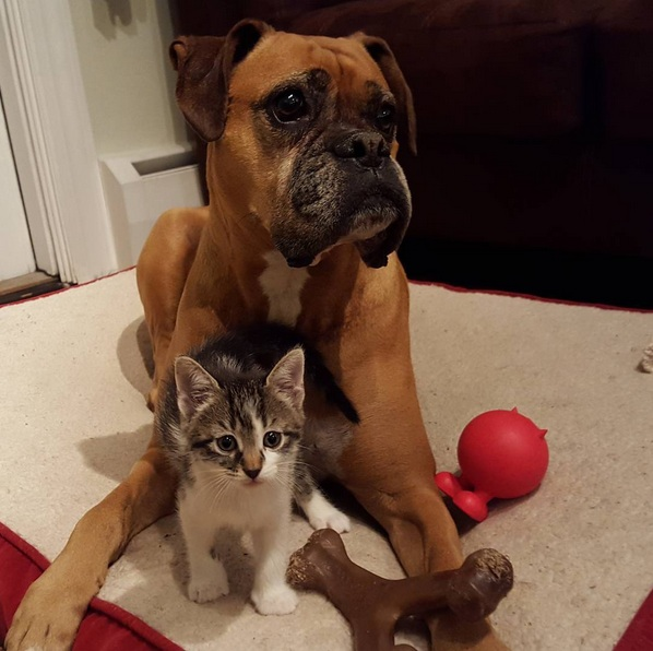 foster kittens and their cute mom  14 pictures 4